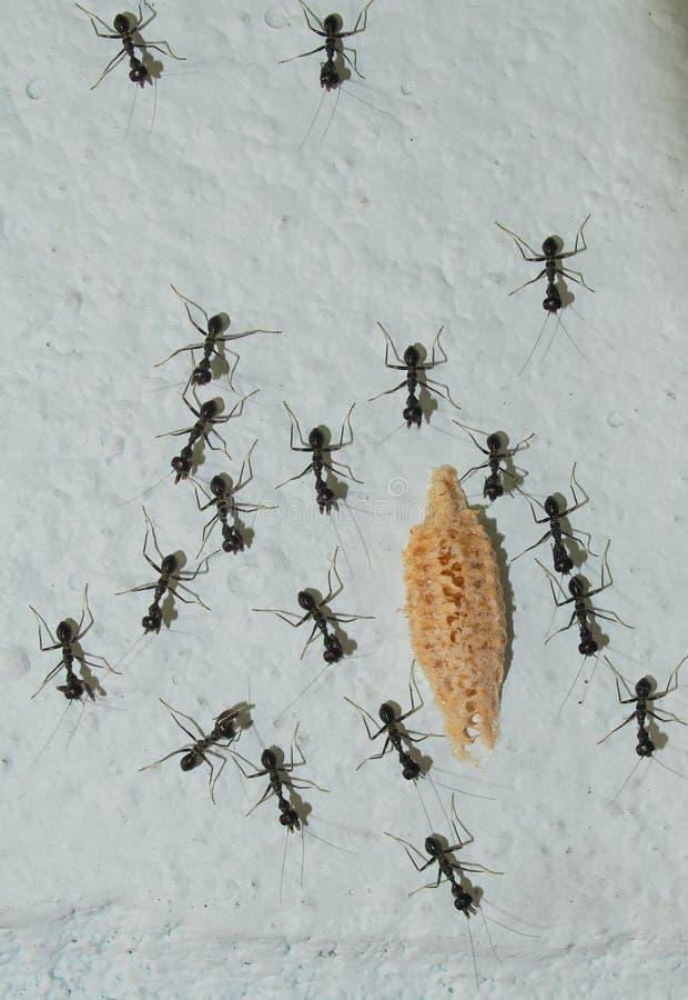 Svarta myror på gå för vägg för ljus färg utomhus- runt om en liten gul varelse arkivbild