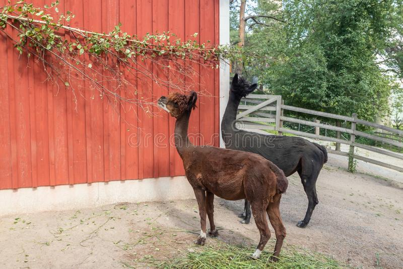 Svarta och bruna alpacas i zoo på sommar arkivbild