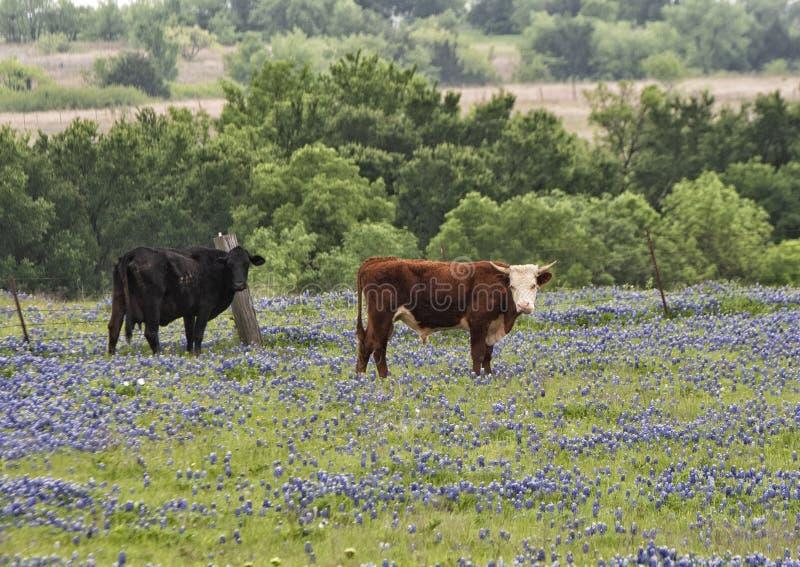 Svarta och bruna kor som står i ett fält av bluebonnets längs Bluebonnetslingan i Ennis, Texas royaltyfri bild