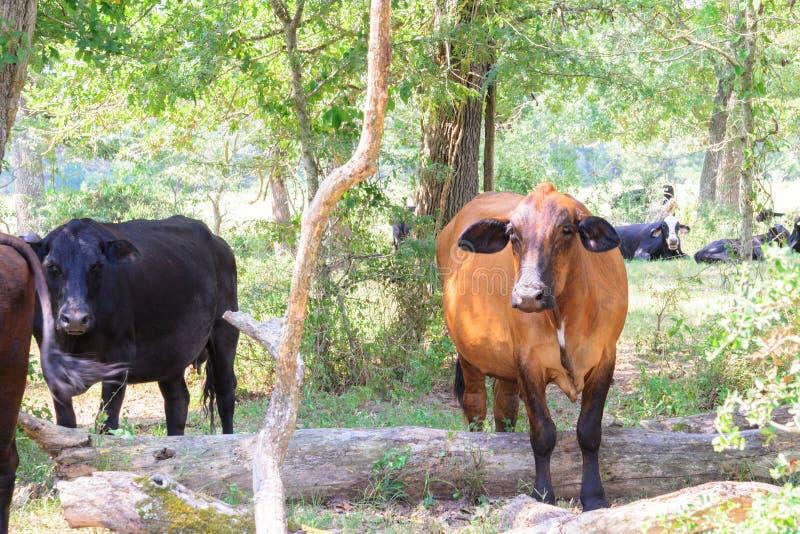 Svarta och bruna kor som strövar omkring på en ranch med gräs och träd arkivbilder