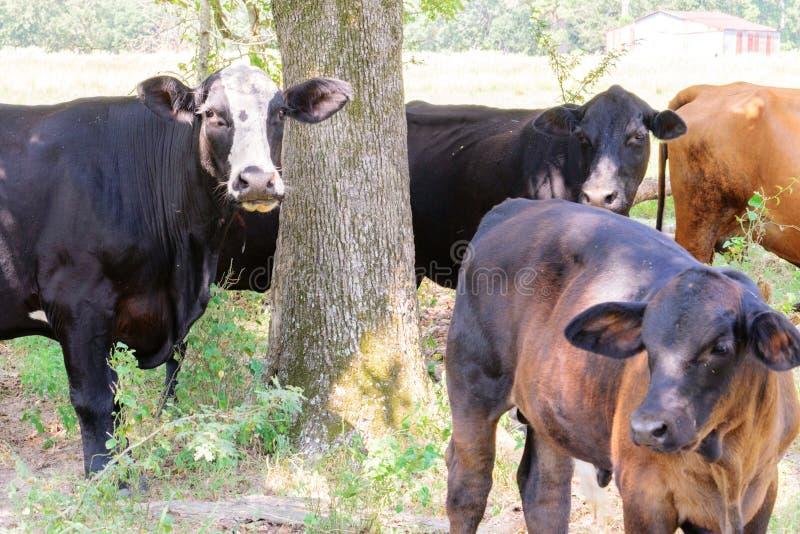 Svarta och bruna kor som strövar omkring på en ranch med gräs och träd arkivfoto