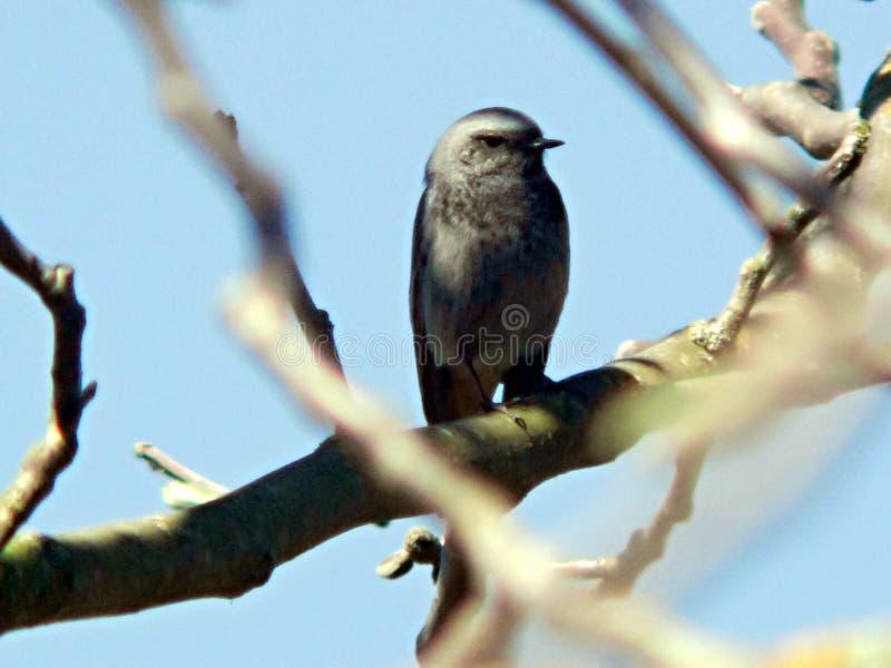 Svarta Redstart Phoenicurusochruros royaltyfri fotografi