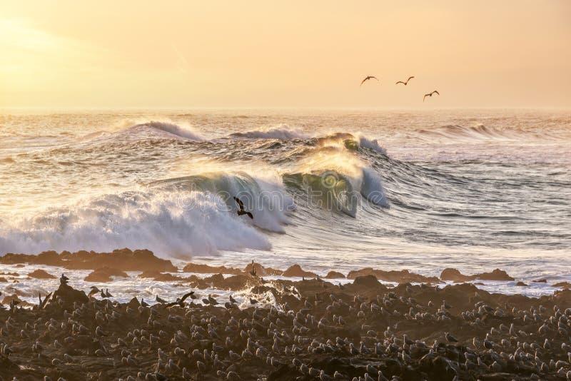 Svarta seagulls och vågor av Stilla havet på en strand av Arica Chile arkivfoto