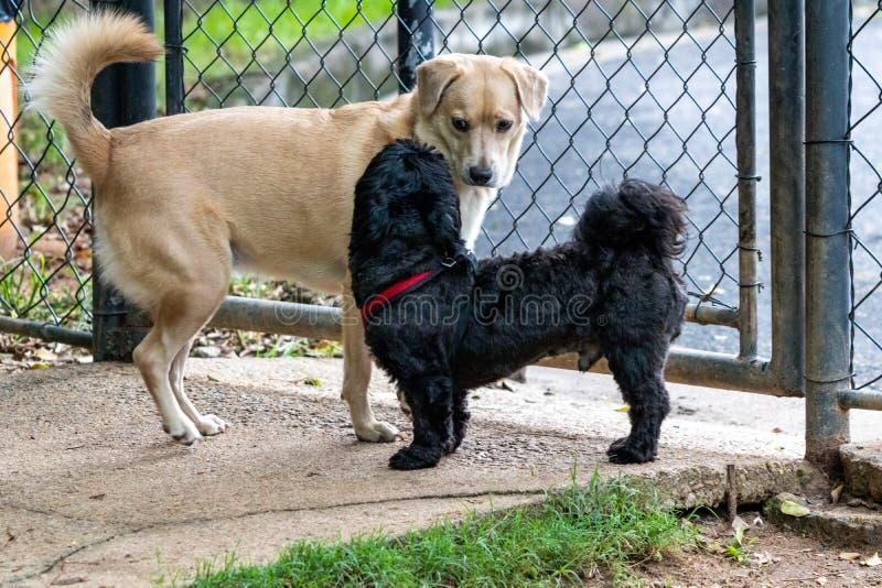 Svarta Shih Tzu och Mutt Dog som spelar i, parkerar på vår royaltyfria foton