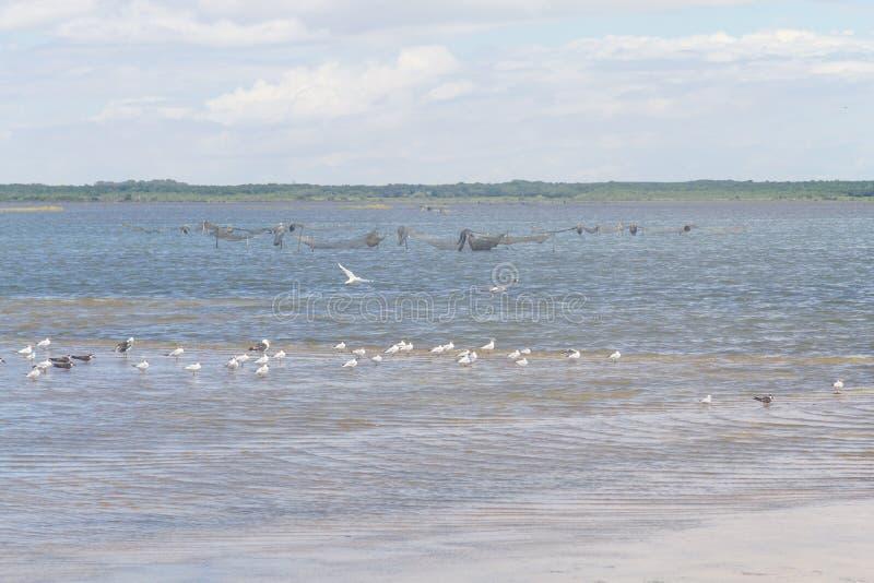 Svarta skumslevar, Seagulls och denmed huva fiskmåsen på Lagoa gör Peixe royaltyfri fotografi