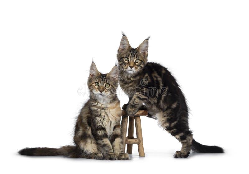 Svarta strimmig katt-/tortieMaine Coon kattungar p? vit royaltyfri fotografi