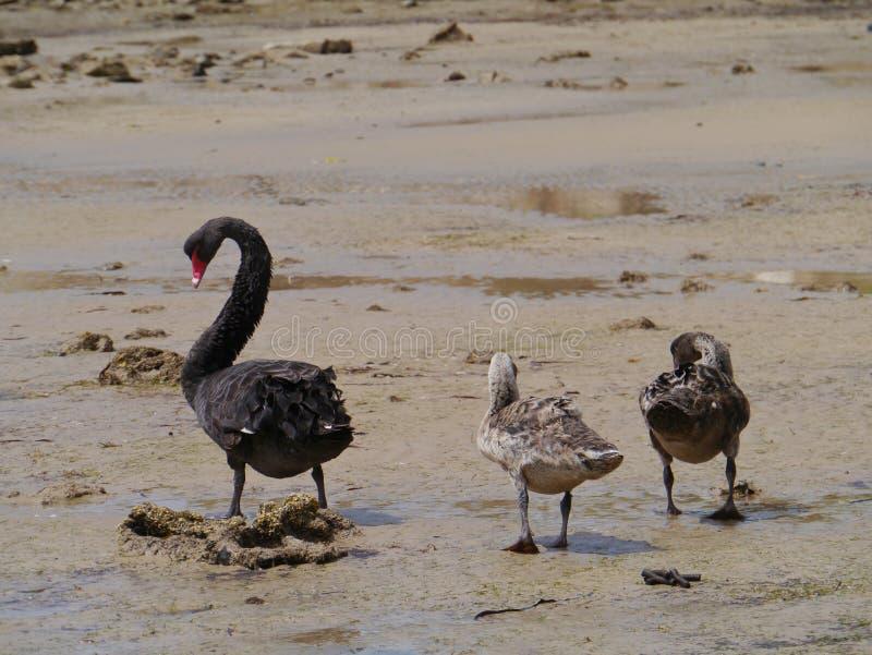 Svarta svanar (cygnusen Atratus) royaltyfria foton