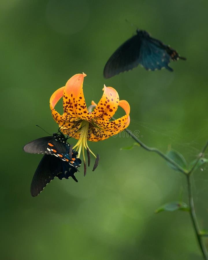Svarta Swallowtail fjärilar på turklocklilja arkivbild
