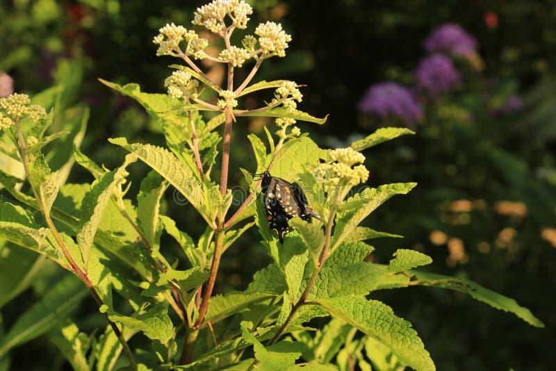 Svarta Swallowtail på Joe Pye Weed med deformerade vingar arkivfoto