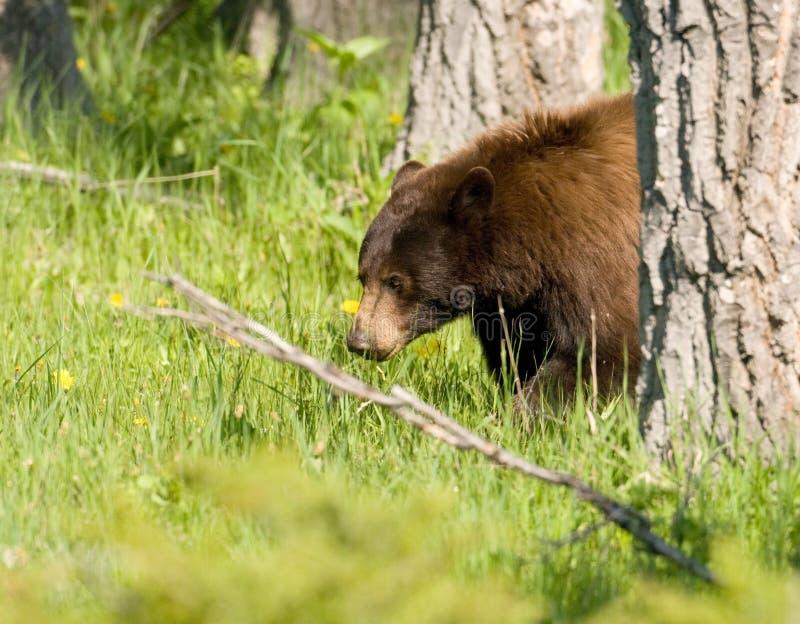 svarta trän för björn royaltyfri fotografi