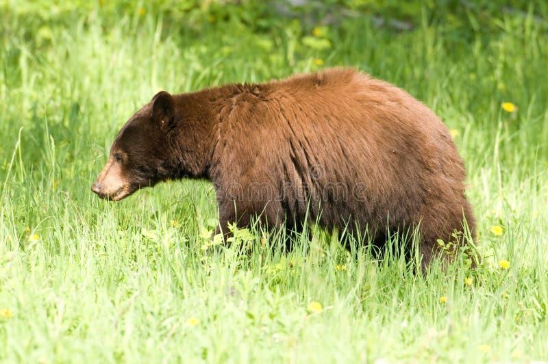 svarta trän för björn royaltyfria foton