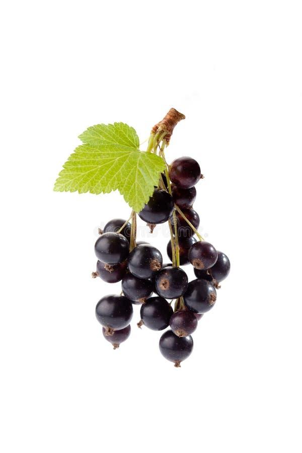 Svarta vinbär, vit bakgrund royaltyfria foton