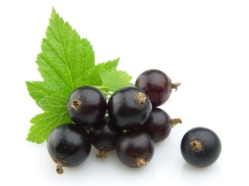 svarta vinbärleaves arkivbild