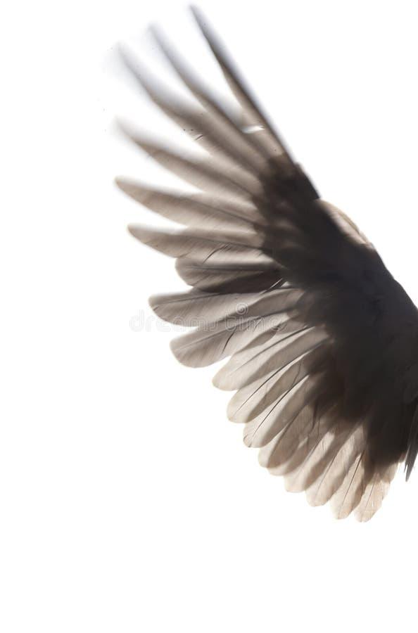 Svarta vingar av fågeln på vit bakgrund arkivfoto