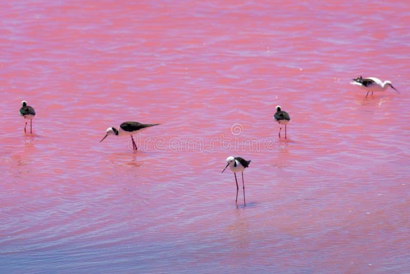 Svarta vingstyltaf?glar som st?r i den rosa sj?n i v?stra Australien arkivfoton