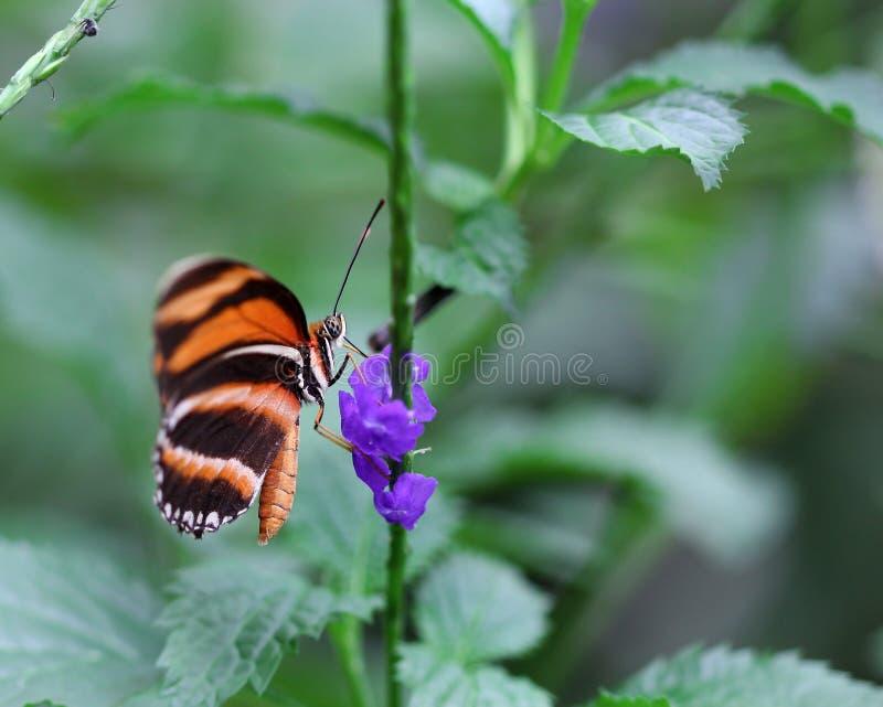 Svarten med orange bandfjärilssammanträde på lilor blommar arkivfoto