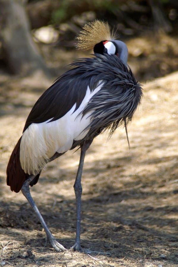 Svarten som krönas kranen, är en fågel i kranfamiljen arkivbilder