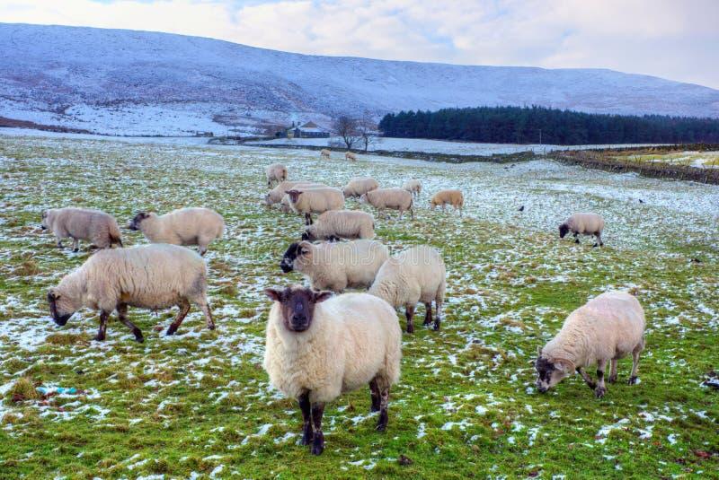 Svarten vänder mot att beta för får. royaltyfria bilder