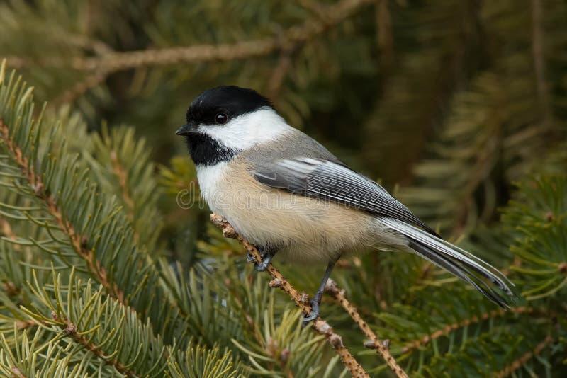 Svartklädd Chickadee - Poecile atricapillus fotografering för bildbyråer