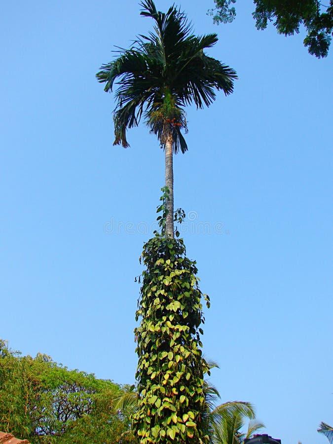 Svartpeppar - Piper Nigrum - vinranka på palmträdet, jordbruk i Kerala, Indien royaltyfri foto