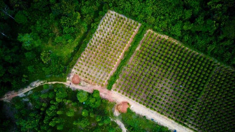 Svartpeppar planterar slågna in träd Phu Quoc, Vietnam royaltyfri foto