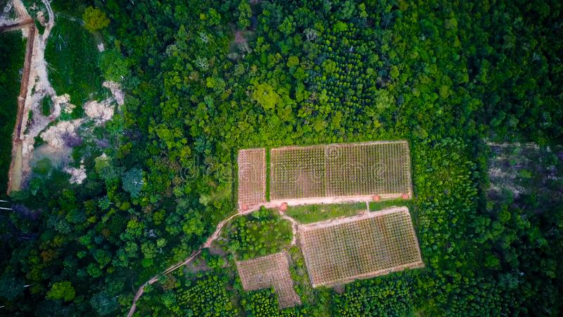 Svartpeppar planterar slågna in träd Phu Quoc, Vietnam royaltyfria foton