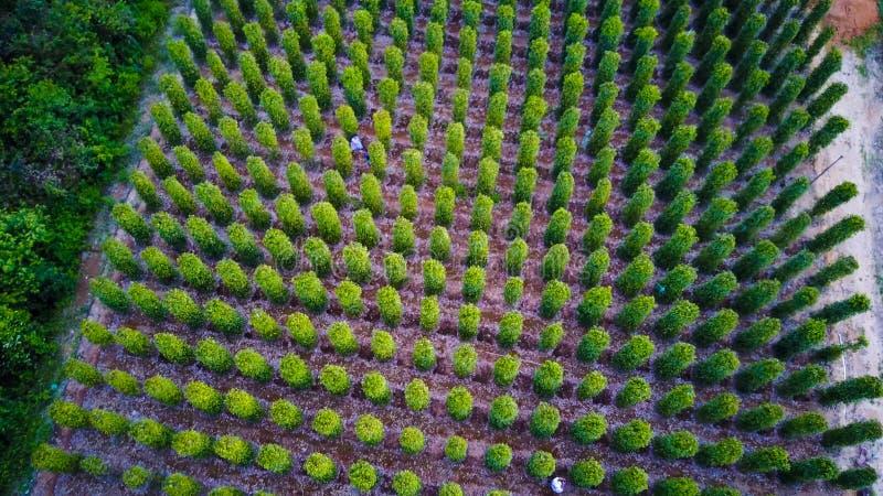 Svartpeppar planterar slågna in träd Phu Quoc, Vietnam arkivfoton