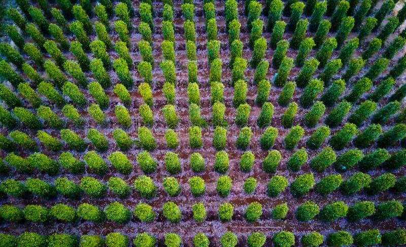 Svartpeppar planterar slågna in träd Phu Quoc, Vietnam arkivbilder