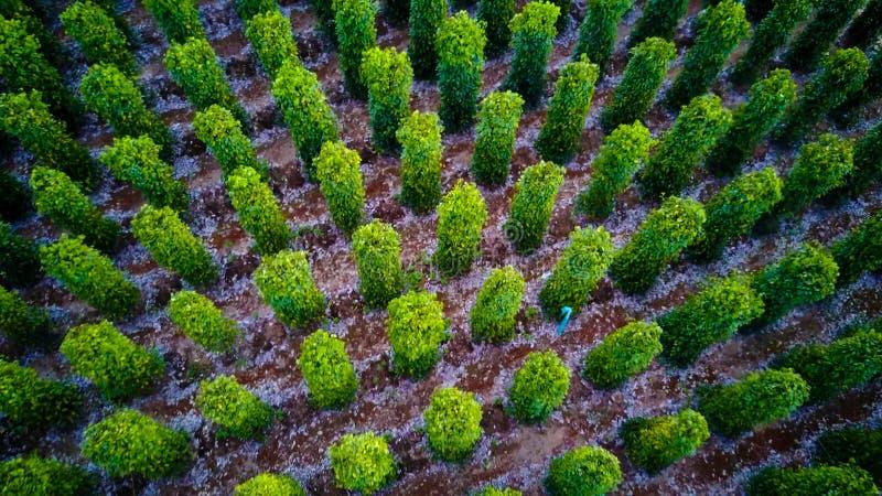 Svartpeppar planterar slågna in träd Phu Quoc, Vietnam royaltyfri bild