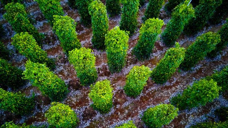 Svartpeppar planterar slågna in träd Phu Quoc, Vietnam royaltyfri fotografi