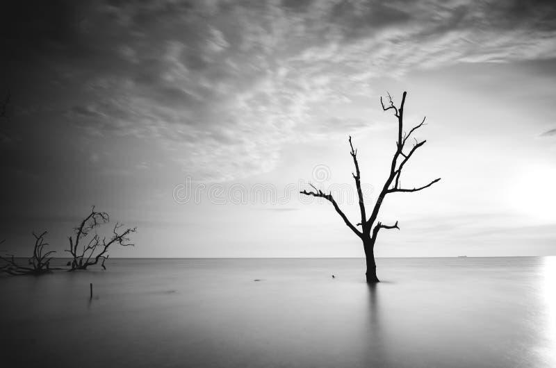 Svartvit bild av det döda mangroveträdet som omger vid havsvatten under solnedgång royaltyfria bilder