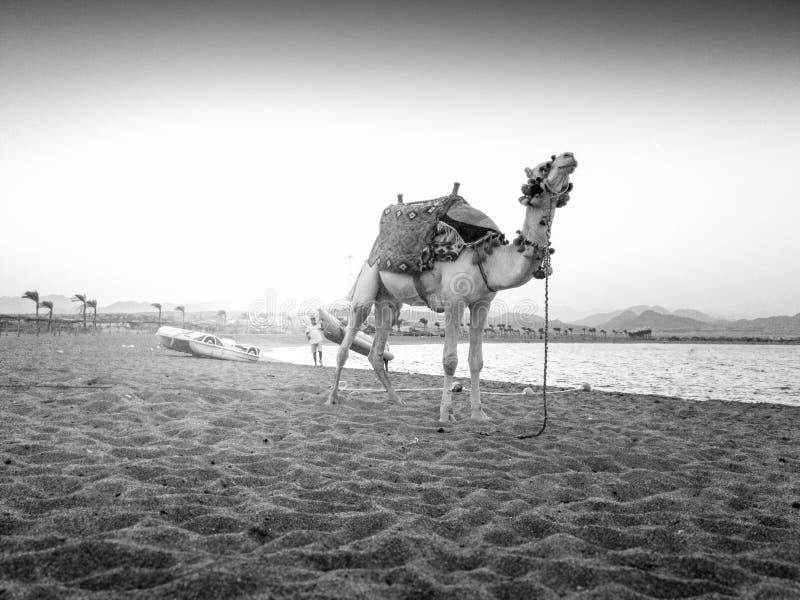 Svartvit bild av det härliga kamelanseendet på havsstranden Kamel används för turist- ridning och underhållning arkivfoto