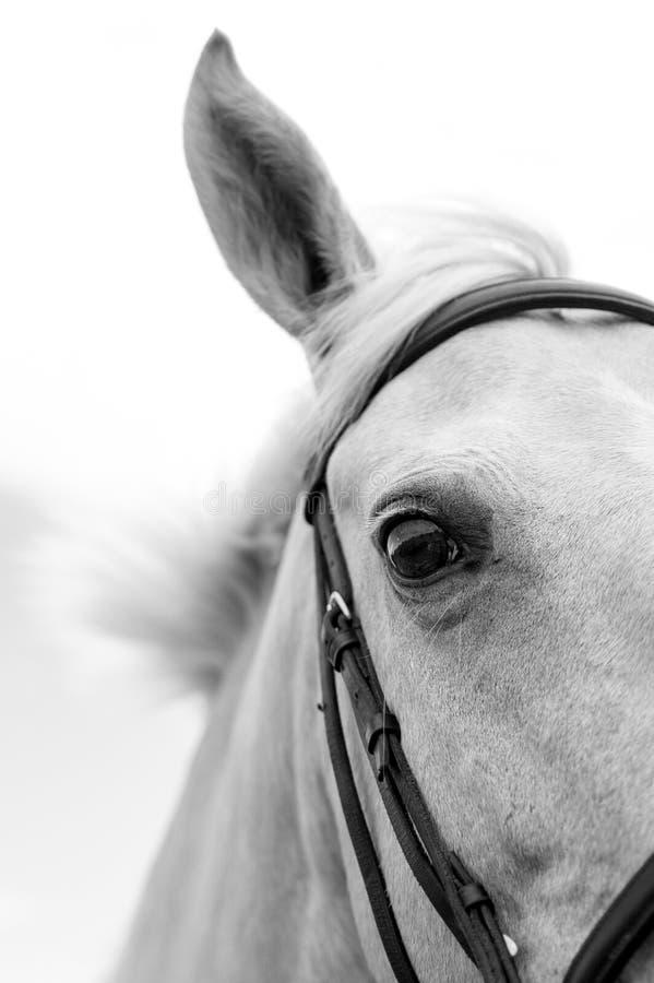 Svartvit bild av en Palamino häst royaltyfria bilder