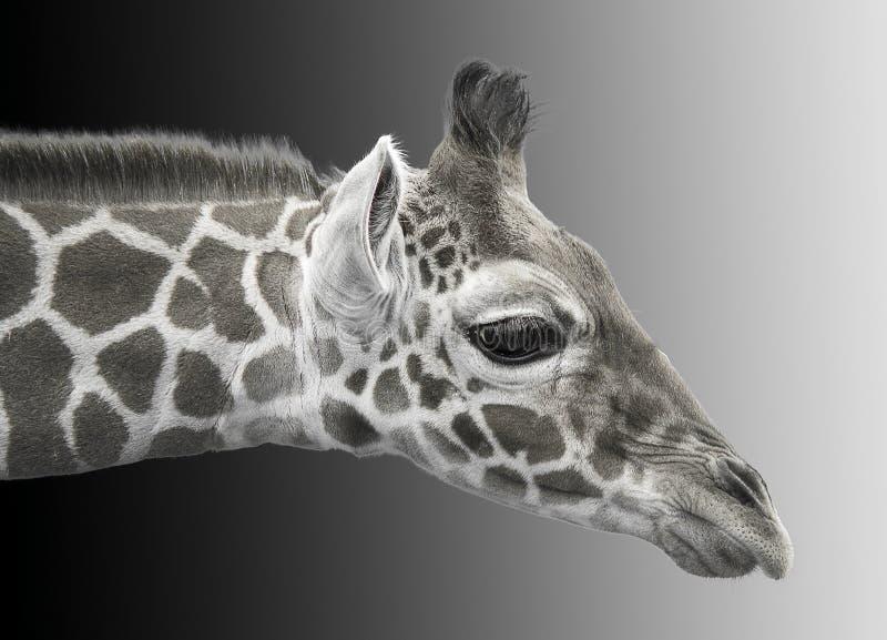 Svartvit bild av en ung giraff fotografering för bildbyråer