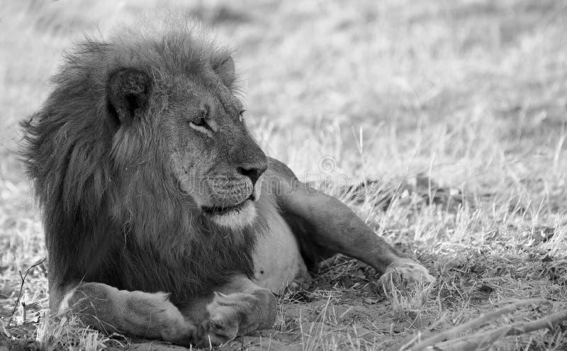 Svartvit bild av ett manligt afrikanskt lejon med en härlig man som vilar på slättarna i den Hwange nationalparken arkivbild