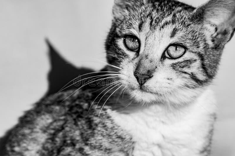 Svartvit bild av kopiering för strimmig kattkatt som ser in mot solen arkivbilder
