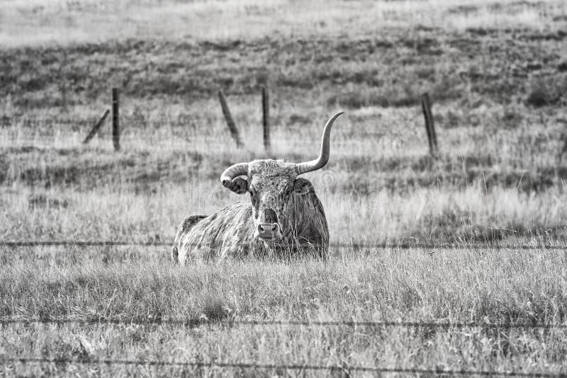 Svartvit bild av Texas Longhorn med det brutna hornet arkivfoto