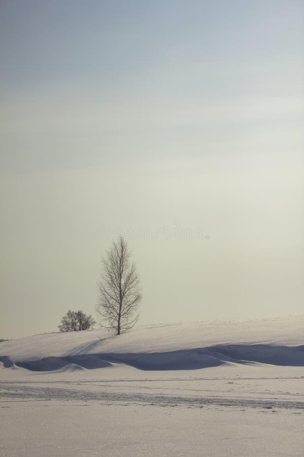 Svartvit björk i en stor snödriva av en snöig öken under en blå himmel arkivfoto