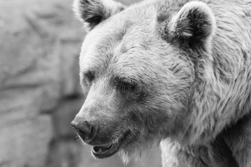 Svartvit björnstående royaltyfri bild