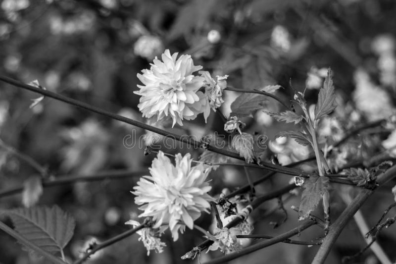 Svartvit blommande maskrosblomma royaltyfri bild
