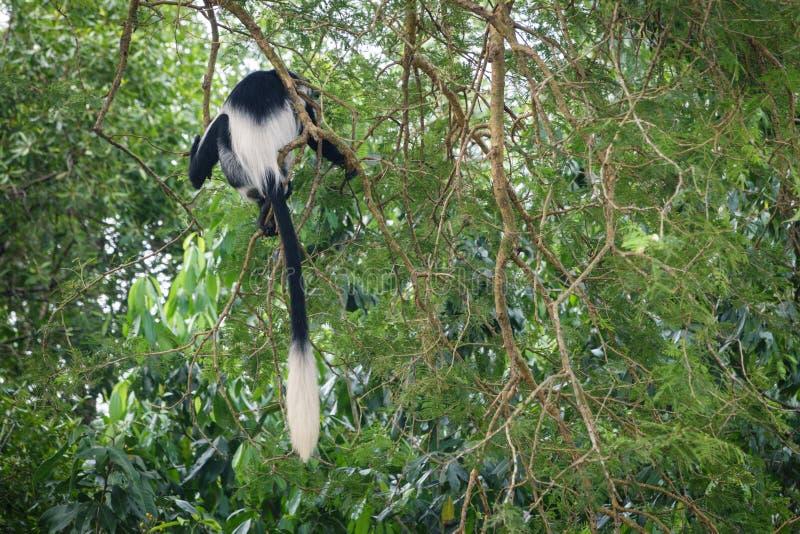 Svartvit Colobus i skogen nära Nile River royaltyfri foto