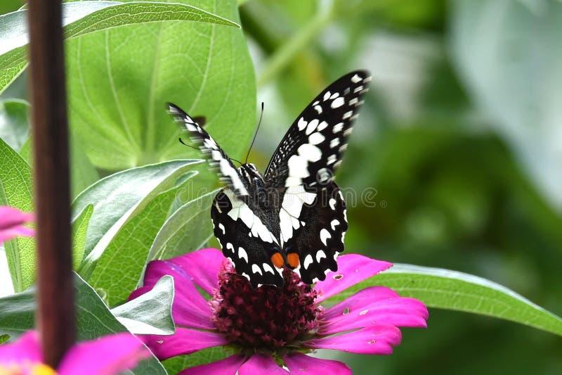 Svartvit fjäril som sätta sig på blommor royaltyfri bild