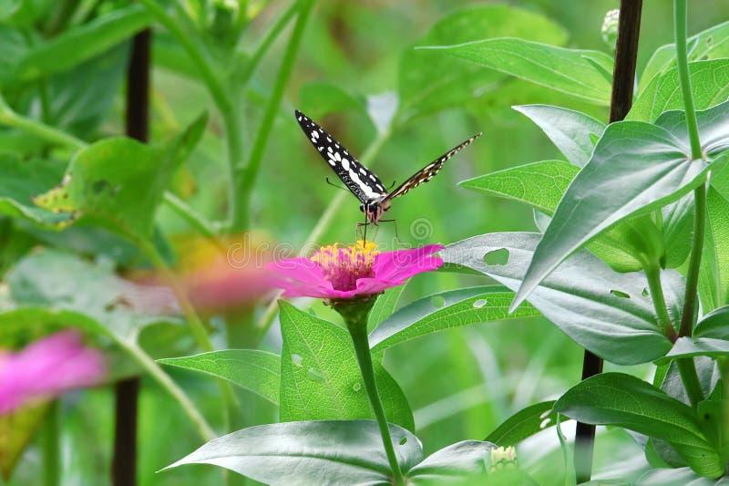 Svartvit fjäril som sätta sig på blommor arkivfoto