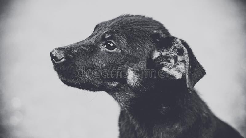 Svartvit fotostående av en hund Gatahusdjur Heml?sen f?rf?ljer royaltyfria bilder