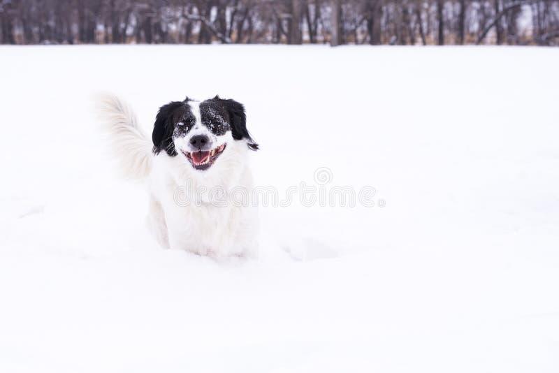 Svartvit hund som spelar i snön royaltyfri bild