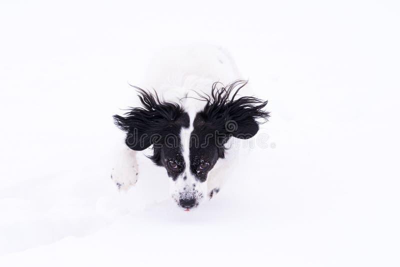Svartvit hund som spelar i snön royaltyfria bilder