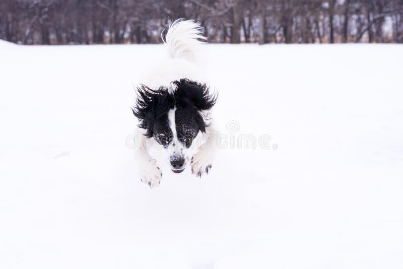 Svartvit hund som spelar i snön arkivfoto
