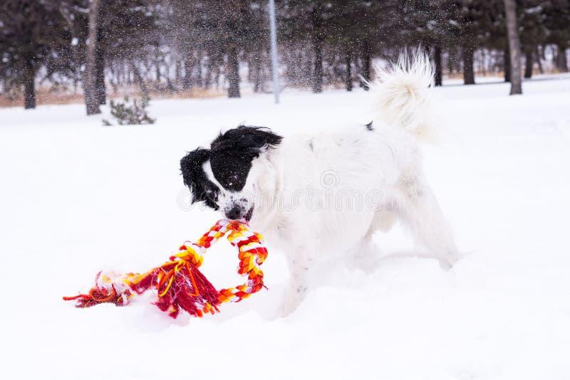 Svartvit hund som spelar i snön royaltyfria foton