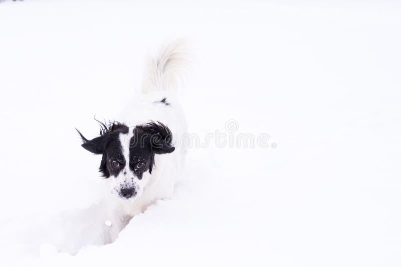 Svartvit hund som spelar i snön royaltyfri foto