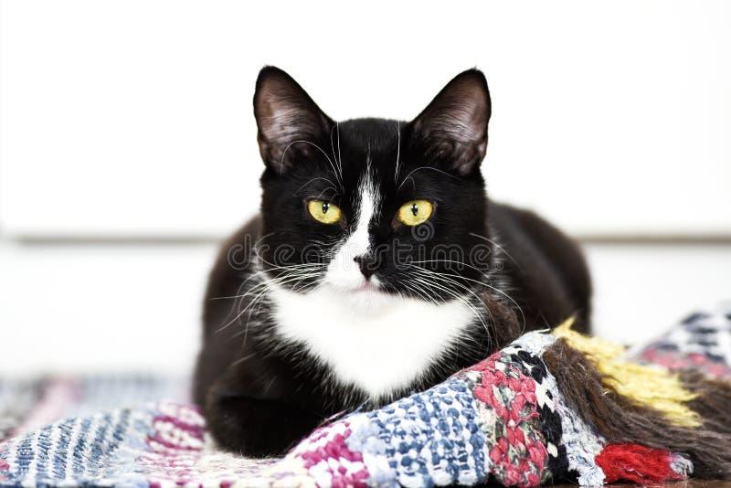 Svartvit inhemsk katt, ligga hemma, koppla av och stillhet fotografering för bildbyråer